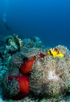 Clownfish With Diver Royalty Free Stock Photos