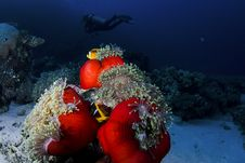 Clownfish And Diver Royalty Free Stock Photos