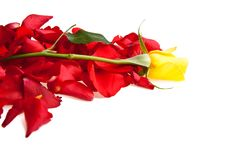 Free Red Roses Petals Valentine S Day Stock Photos - 17728333