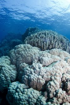 Free Giant Corals Royalty Free Stock Photos - 17728408