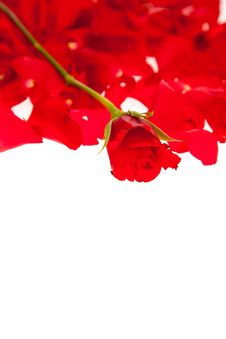Free Red Rose Petals Isolated Stock Image - 17728711