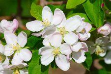 Free Apple Garden Royalty Free Stock Photography - 17728717