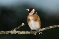 Free Goldfinch Royalty Free Stock Photography - 17729077