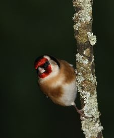 Free Goldfinch Stock Photos - 17729103