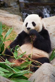 Free Panda Bear Royalty Free Stock Image - 17729246