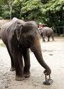 Free Big Elephant Stock Image - 17733461