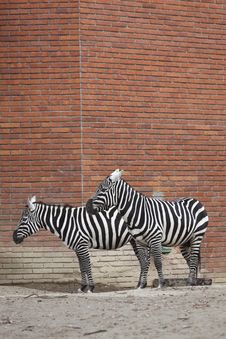 Couple Of Plains Zebras Stock Photo