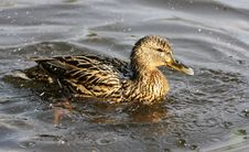 Free Duck In The Rain Royalty Free Stock Image - 17730346