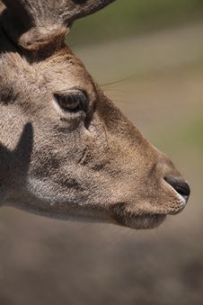 Free Detail Of Fallow Deer Stock Photography - 17730702
