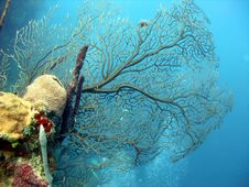 Sea Fan Royalty Free Stock Photos