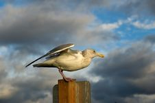 Free Mukilteo Gull Royalty Free Stock Image - 17731556