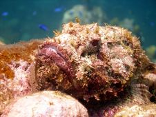 Free Ugly Scorpion Fish Stock Photography - 17732022