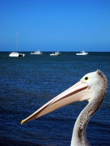 Pelican At Kangaroo Island Royalty Free Stock Image
