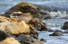 Mallard Duck Going To Swim Stock Photo