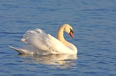 Free Mute Swan On Blue Water Royalty Free Stock Images - 17737119