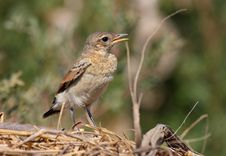 Young Northern Wheatear Royalty Free Stock Image