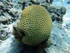 Free Globular Coral Royalty Free Stock Photos - 17737738