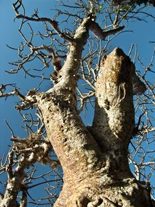 Branches Of Baobab Tree