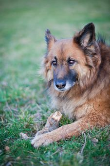 Free Belgian Shepherd Dog Stock Photography - 17738202