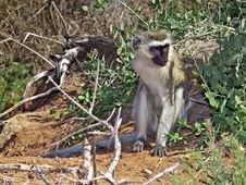 Free African Monkey Stock Photos - 17738293