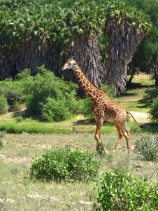 Free Giraffe From Kenya Royalty Free Stock Photo - 17738535