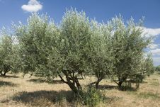 Olive Tree In A Grove Stock Photos