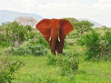 Single Elephant In Savannah Royalty Free Stock Image