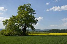 Free Big Tree And Rape Stock Photo - 17739410