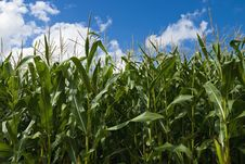 Free Corn Field Stock Photography - 17739702