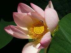 Free Pink Water Lily On The Lake Royalty Free Stock Photography - 17739727