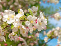 Free Blossoming Of Apple-tree Stock Images - 17740644