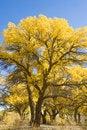 Free Populus Euphratica Stock Photos - 17744093