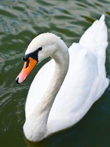 Free White Swan Stock Image - 17741001