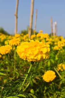 Free Marigold Stock Photo - 17741460