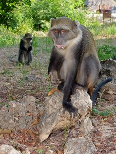 Free Couple Of Monkeys Royalty Free Stock Photos - 17741478