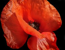 Free Closeup Of Red Poppy Royalty Free Stock Photography - 17741727