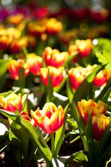 Free Tulip Royalty Free Stock Photo - 17741745