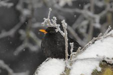Free Blackbird During Snowfall Royalty Free Stock Photo - 17742655
