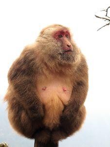 Free Wild Monkey Stock Image - 17742711