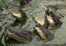 Hungry Crocodiles Royalty Free Stock Photo