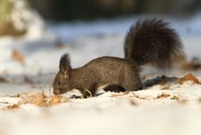 Free Brown Squirrel Royalty Free Stock Photos - 17744188