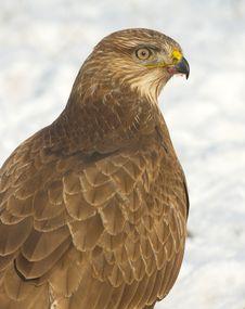 Free Common Buzzard / Buteo Buteo Stock Photo - 17744860