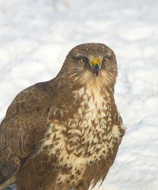 Free Common Buzzard / Buteo Buteo Stock Photos - 17744933