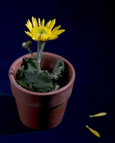 Free Yellow Flower In A Pot Stock Photos - 17745023