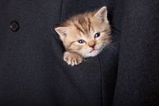 Free A Funny Scottish Fold Kitten In The Pocket Royalty Free Stock Photography - 17745087