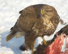 Free Common Buzzard / Buteo Buteo Stock Image - 17745331