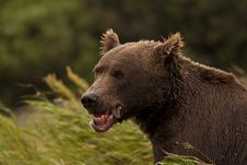 Free Brown Bear Eating Fish Royalty Free Stock Photography - 17745507
