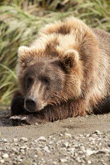 Free Resting Bear Royalty Free Stock Image - 17745556
