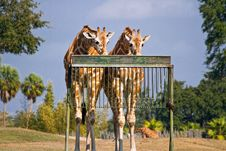 Free Feeding Giraffes Royalty Free Stock Photography - 17746167