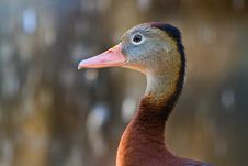 Free Duck In Profile Royalty Free Stock Photos - 17746178